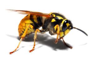 ▷ Avispa chaqueta amarilla ▷【 EliminarBichos.es 🥇】