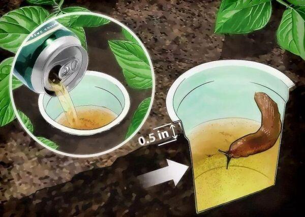 ▷ Cerveza para eliminar babosas ▷【 EliminarBichos.es 🥇】.jpg