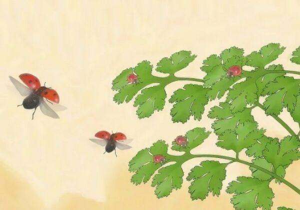 ▷ Plantas para mariquitas contra pulgones ▷【 EliminarBichos.es 🥇】.jpg