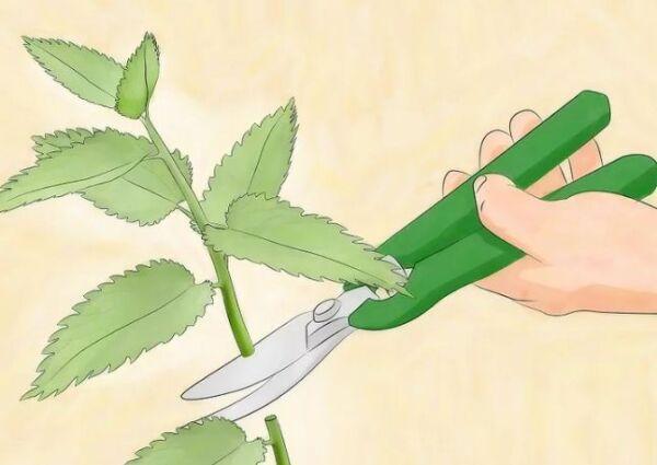 ▷ Podar tallos con grandes plagas de pulgones ▷【 EliminarBichos.es 🥇】.jpg