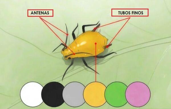 ▷ Tipos de pulgones ▷【 EliminarBichos.es 🥇】.jpg