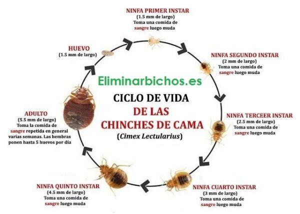 Ciclo de vida de los chinches | Eliminarbichos.es