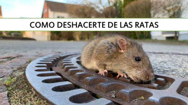 ▷ Cómo deshacerte de las ratas ▷【 EliminarBichos.es 🥇】.jpg
