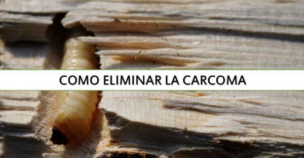 ▷ Cómo eliminar la carcoma ▷【 EliminarBichos.es 🥇】