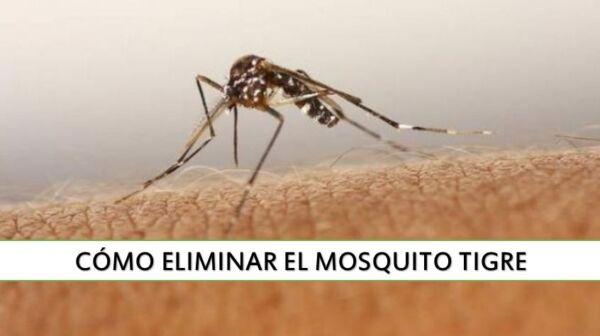 ▷ Cómo eliminar los mosquitos tigre de casa ▷【 EliminarBichos.es 🥇】.jpg